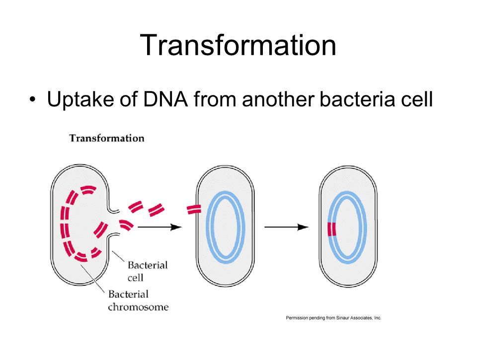 Transformation Uptake of DNA from another bacteria cell