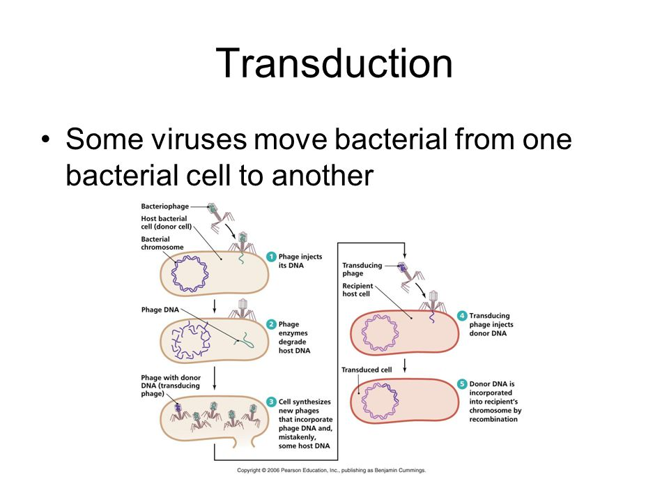 Transduction Some viruses move bacterial from one bacterial cell to another