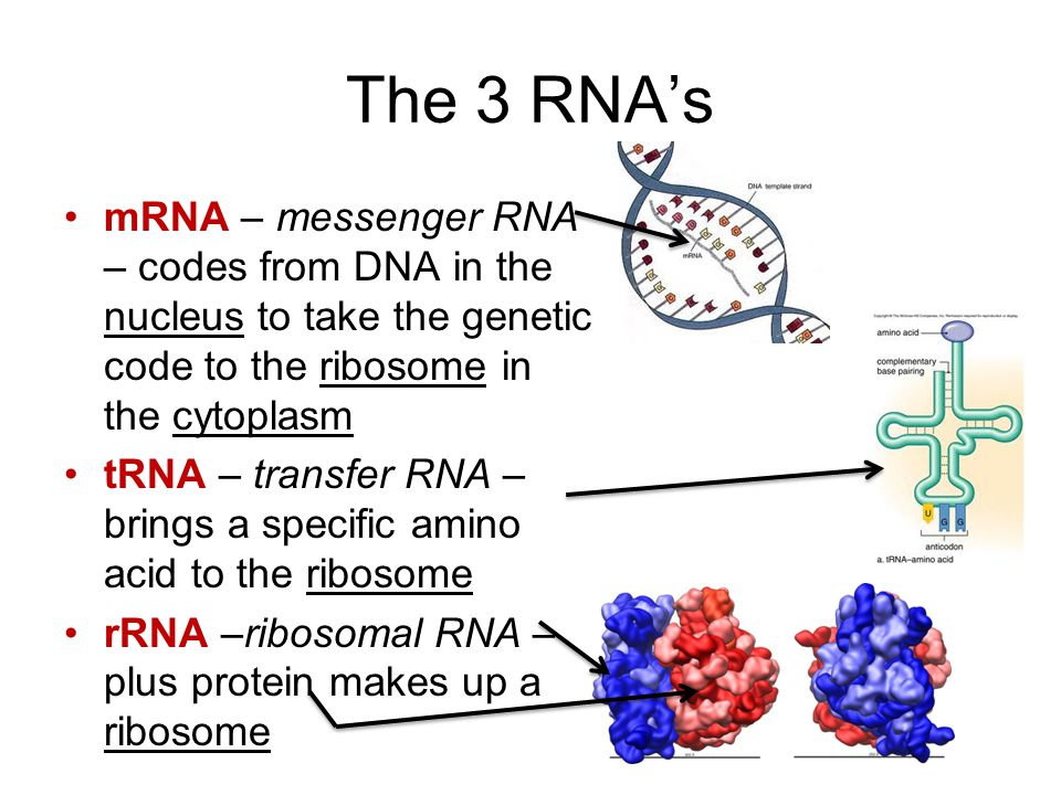 The 3 RNA's mRNA – messenger RNA – codes from DNA in the nucleus to take the genetic code to the ribosome in the cytoplasm.