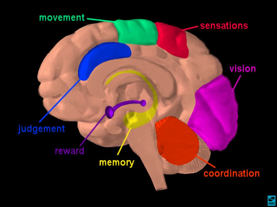 Instructions Explain that certain parts of the brain govern specific functions.