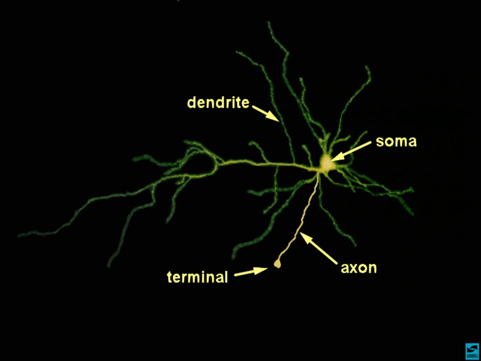 Notes The anatomy of a neuron.