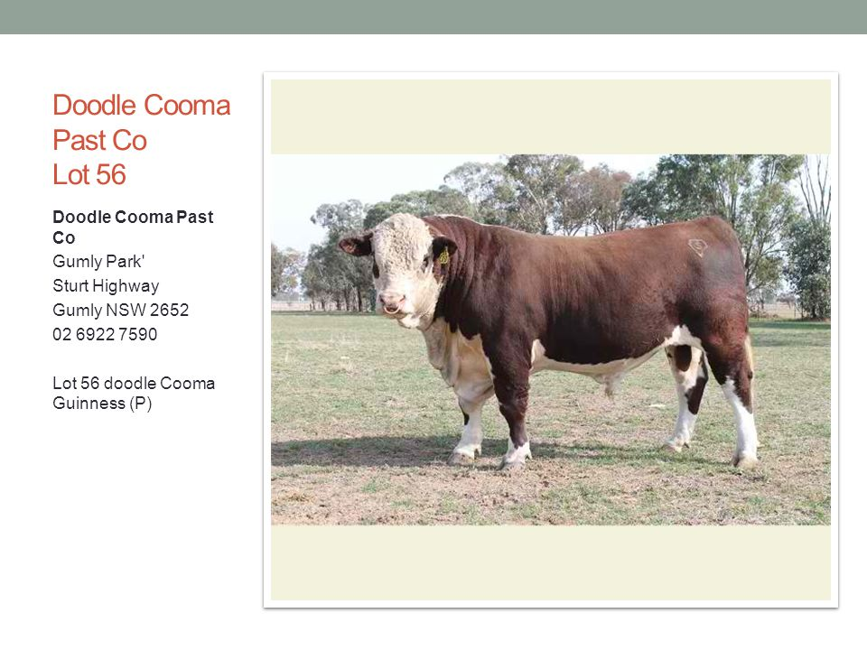 Doodle Cooma Past Co Lot 56