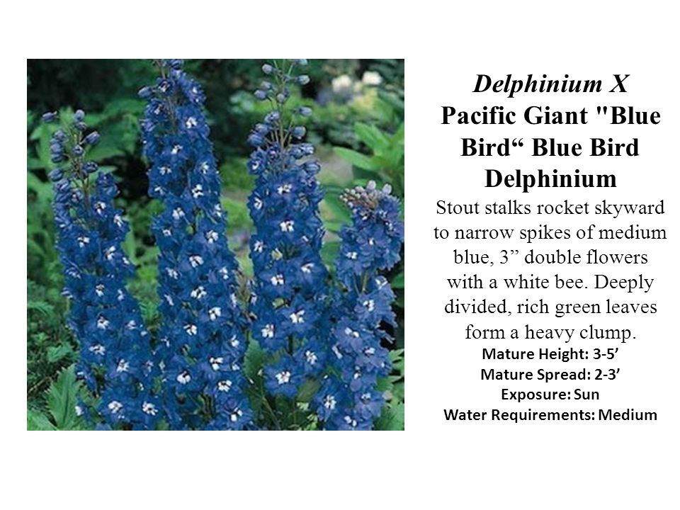 Delphinium X Pacific Giant Blue Bird Blue Bird Delphinium Stout stalks rocket skyward to narrow spikes of medium blue, 3 double flowers with a white bee.