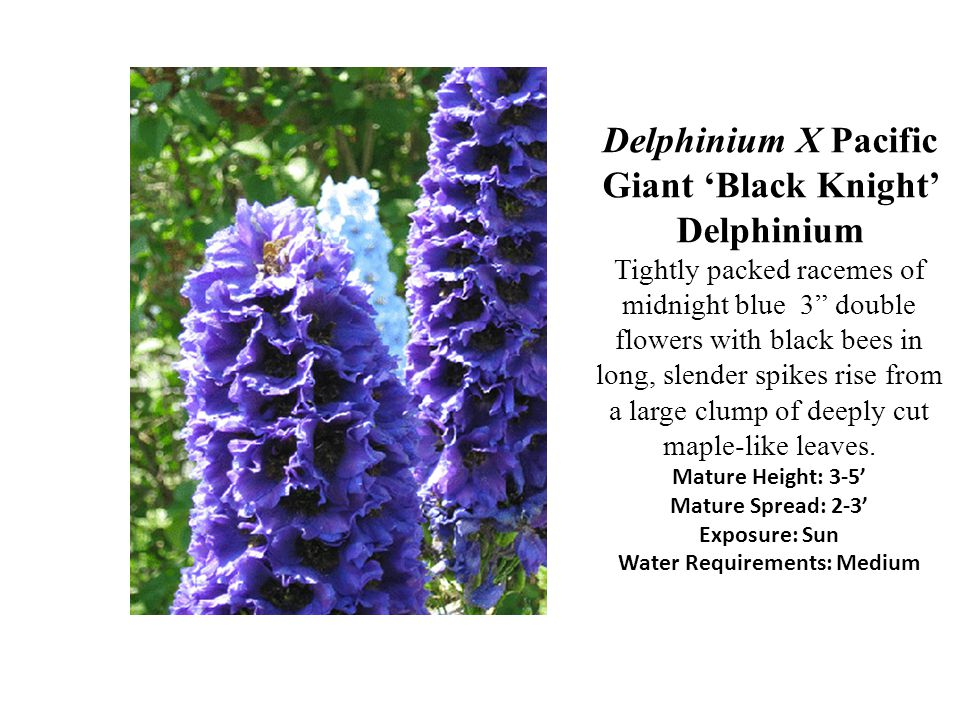 Delphinium X Pacific Giant 'Black Knight' Delphinium Tightly packed racemes of midnight blue 3 double flowers with black bees in long, slender spikes rise from a large clump of deeply cut maple-like leaves.