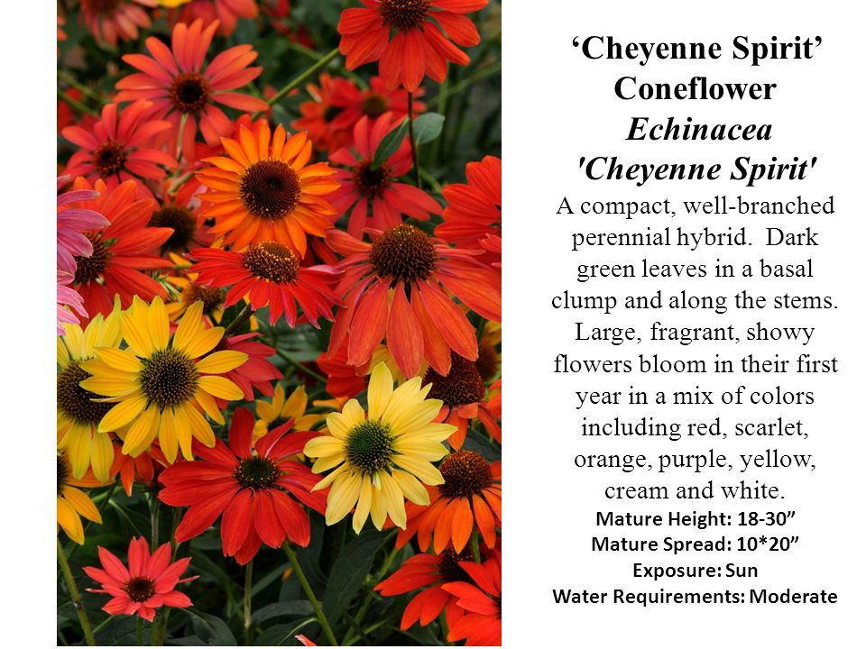 'Cheyenne Spirit' Coneflower Echinacea Cheyenne Spirit A compact, well-branched perennial hybrid.