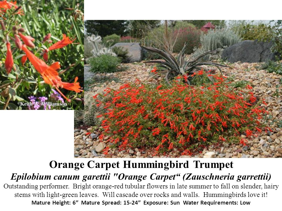 Orange Carpet Hummingbird Trumpet Epilobium canum garettii Orange Carpet (Zauschneria garrettii) Outstanding performer.