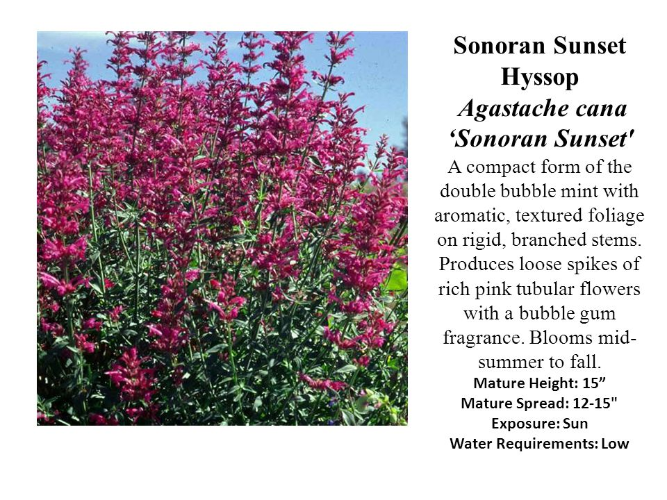 Sonoran Sunset Hyssop Agastache cana 'Sonoran Sunset A compact form of the double bubble mint with aromatic, textured foliage on rigid, branched stems.