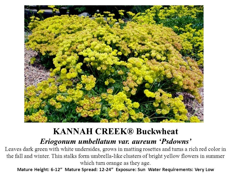 KANNAH CREEK® Buckwheat Eriogonum umbellatum var