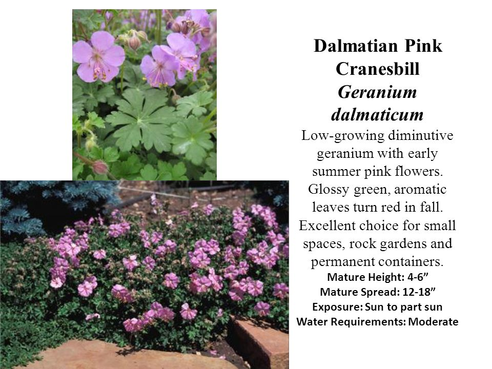 Dalmatian Pink Cranesbill Geranium dalmaticum Low-growing diminutive geranium with early summer pink flowers.