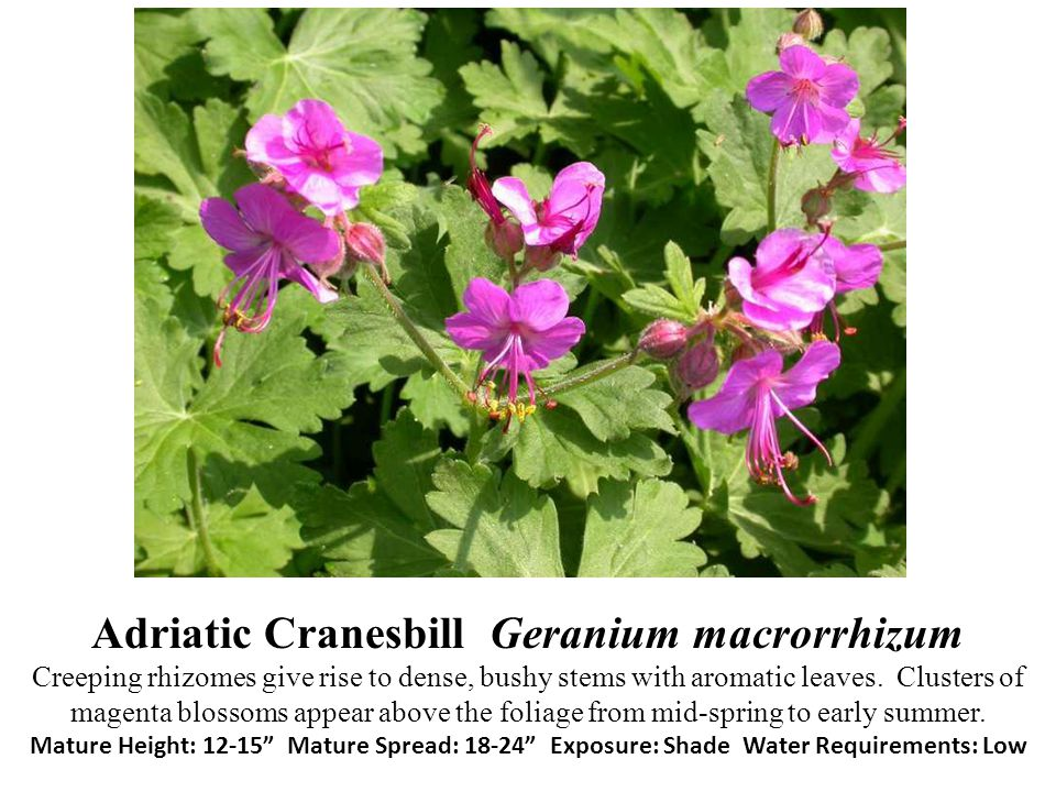 Adriatic Cranesbill Geranium macrorrhizum Creeping rhizomes give rise to dense, bushy stems with aromatic leaves.