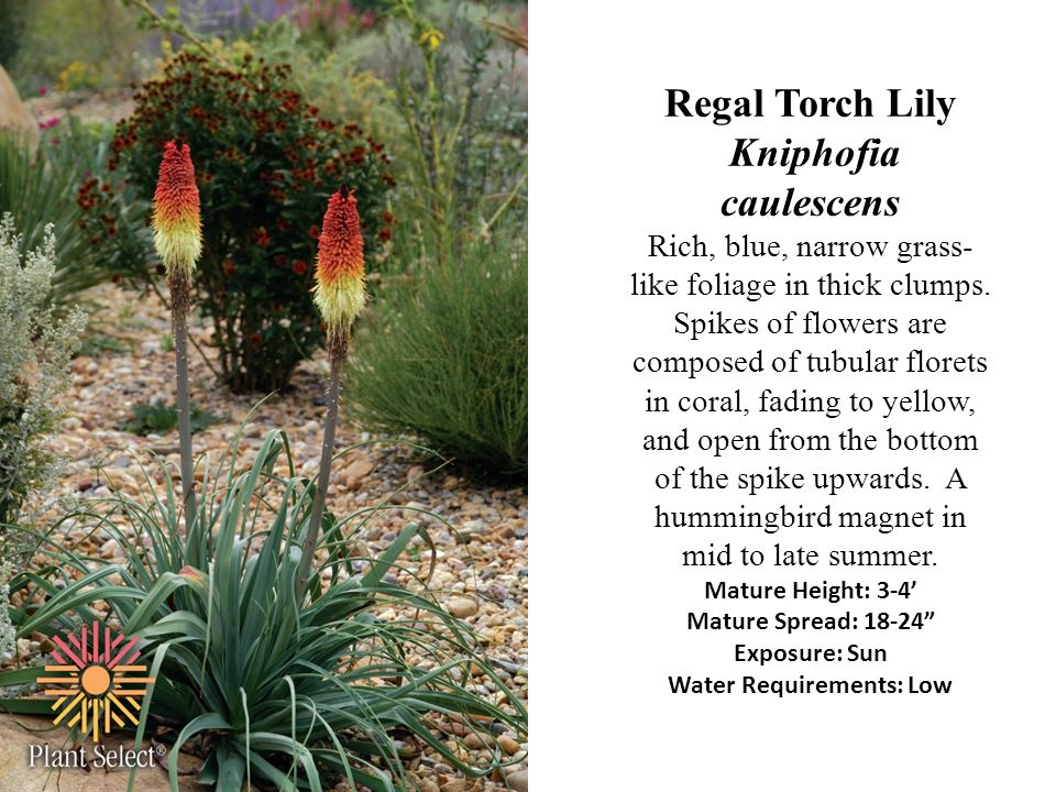 Regal Torch Lily Kniphofia caulescens Rich, blue, narrow grass-like foliage in thick clumps.