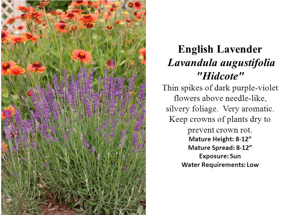 English Lavender Lavandula augustifolia Hidcote Thin spikes of dark purple-violet flowers above needle-like, silvery foliage.