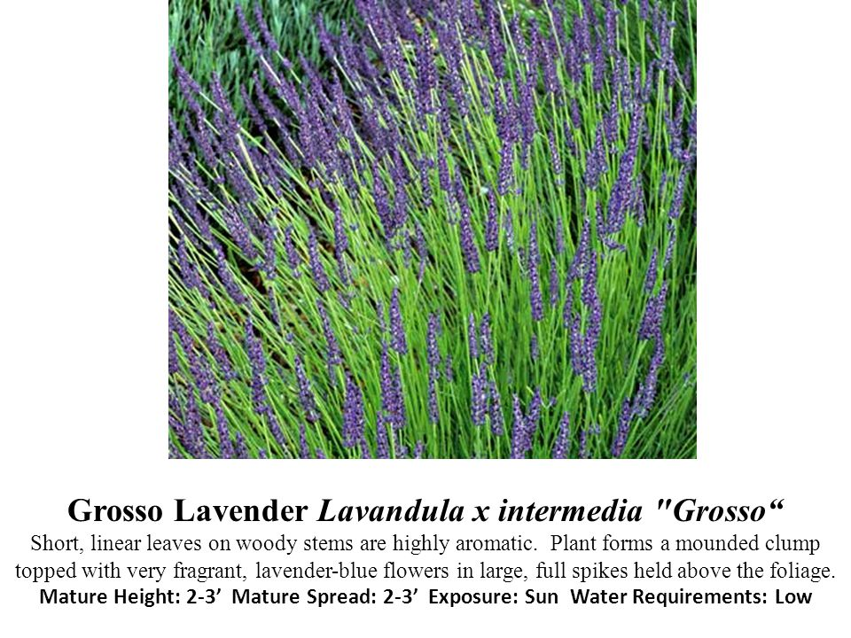Grosso Lavender Lavandula x intermedia Grosso Short, linear leaves on woody stems are highly aromatic.