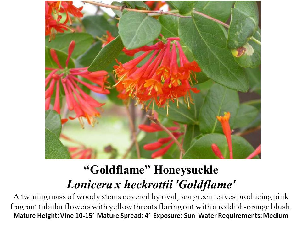 Goldflame Honeysuckle Lonicera x heckrottii Goldflame A twining mass of woody stems covered by oval, sea green leaves producing pink fragrant tubular flowers with yellow throats flaring out with a reddish-orange blush.