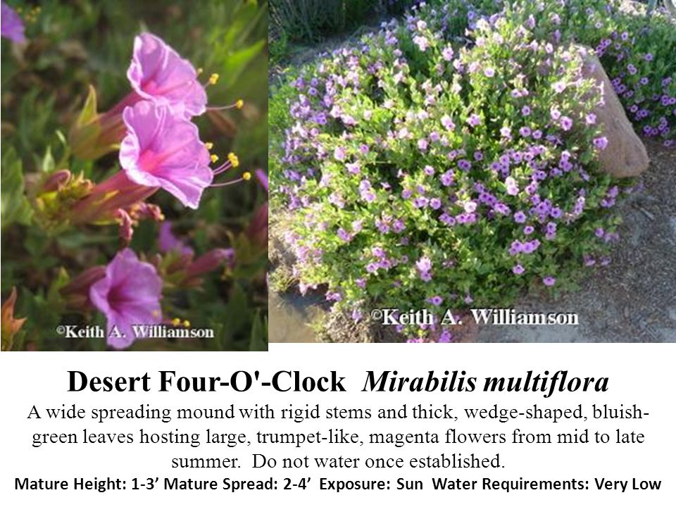 Desert Four-O -Clock Mirabilis multiflora A wide spreading mound with rigid stems and thick, wedge-shaped, bluish-green leaves hosting large, trumpet-like, magenta flowers from mid to late summer.