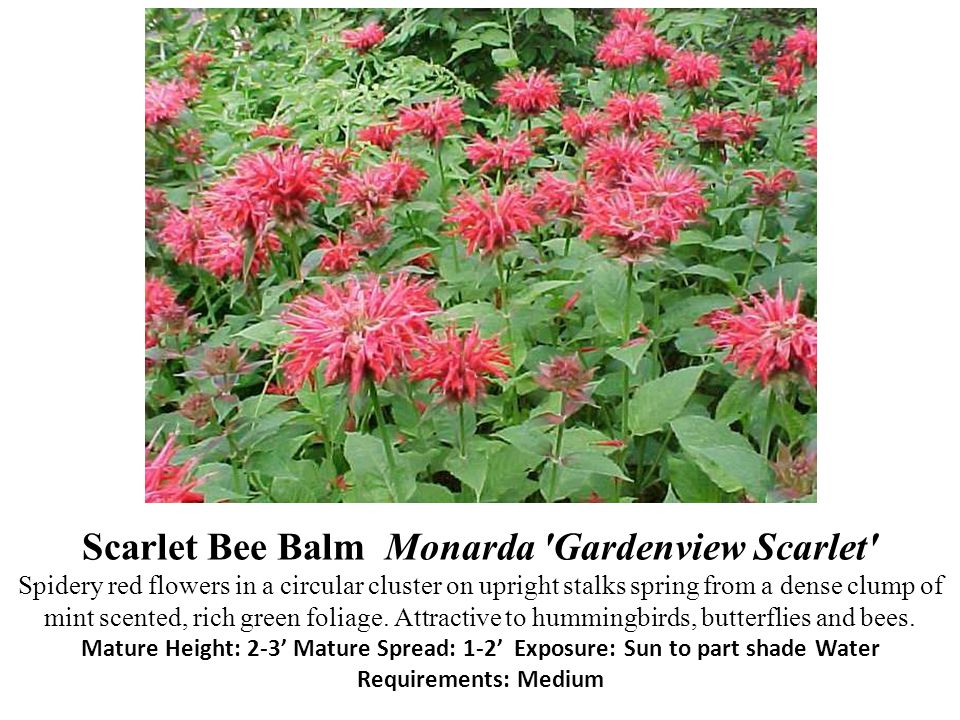 Scarlet Bee Balm Monarda Gardenview Scarlet Spidery red flowers in a circular cluster on upright stalks spring from a dense clump of mint scented, rich green foliage.