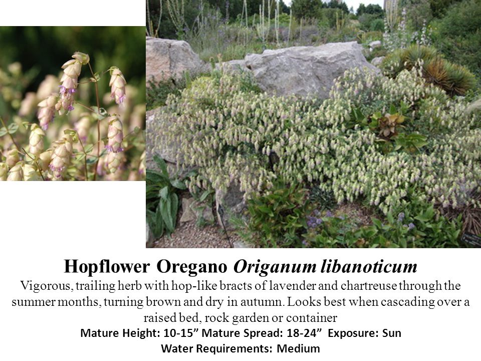 Hopflower Oregano Origanum libanoticum Vigorous, trailing herb with hop-like bracts of lavender and chartreuse through the summer months, turning brown and dry in autumn.
