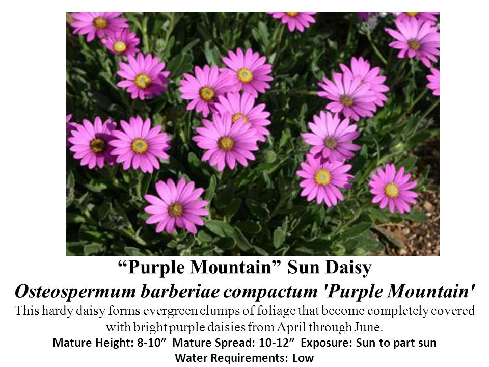 Purple Mountain Sun Daisy Osteospermum barberiae compactum Purple Mountain This hardy daisy forms evergreen clumps of foliage that become completely covered with bright purple daisies from April through June.