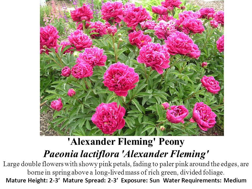 Alexander Fleming Peony Paeonia lactiflora Alexander Fleming Large double flowers with showy pink petals, fading to paler pink around the edges, are borne in spring above a long-lived mass of rich green, divided foliage.