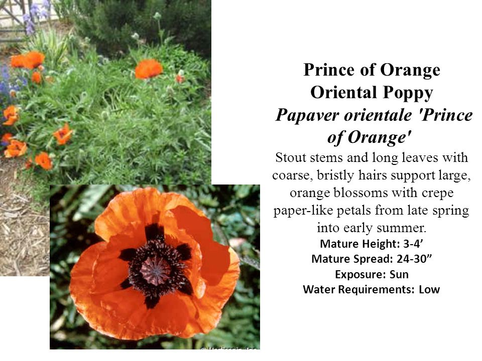 Prince of Orange Oriental Poppy Papaver orientale Prince of Orange Stout stems and long leaves with coarse, bristly hairs support large, orange blossoms with crepe paper-like petals from late spring into early summer.
