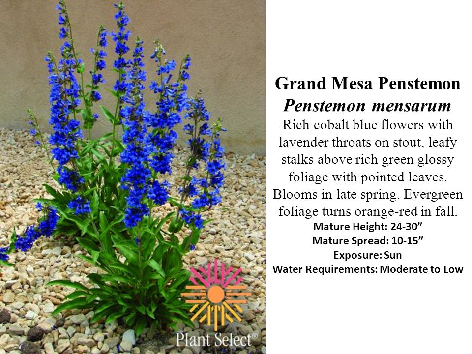 Grand Mesa Penstemon Penstemon mensarum Rich cobalt blue flowers with lavender throats on stout, leafy stalks above rich green glossy foliage with pointed leaves.