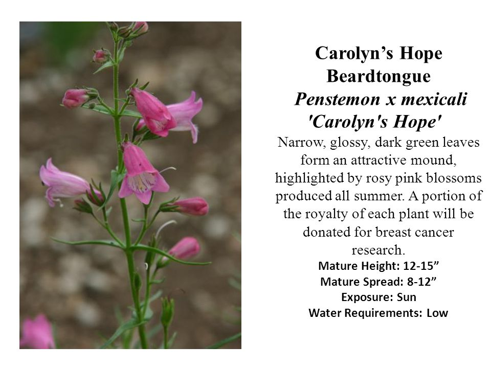 Carolyn's Hope Beardtongue Penstemon x mexicali Carolyn s Hope Narrow, glossy, dark green leaves form an attractive mound, highlighted by rosy pink blossoms produced all summer.