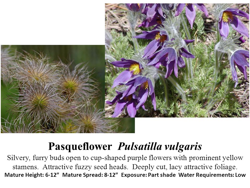 Pasqueflower Pulsatilla vulgaris Silvery, furry buds open to cup-shaped purple flowers with prominent yellow stamens.