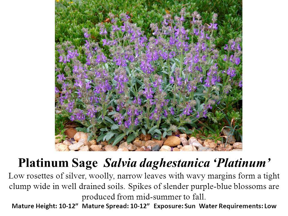 Platinum Sage Salvia daghestanica 'Platinum' Low rosettes of silver, woolly, narrow leaves with wavy margins form a tight clump wide in well drained soils.