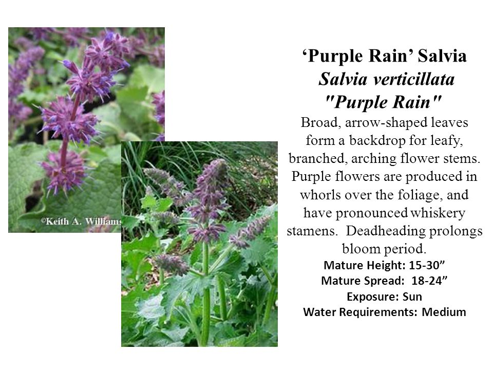 'Purple Rain' Salvia Salvia verticillata Purple Rain Broad, arrow-shaped leaves form a backdrop for leafy, branched, arching flower stems.