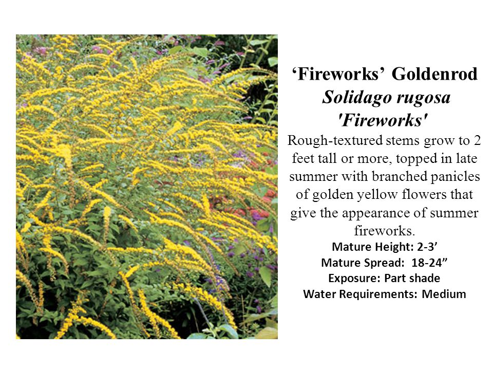 'Fireworks' Goldenrod Solidago rugosa Fireworks Rough-textured stems grow to 2 feet tall or more, topped in late summer with branched panicles of golden yellow flowers that give the appearance of summer fireworks.