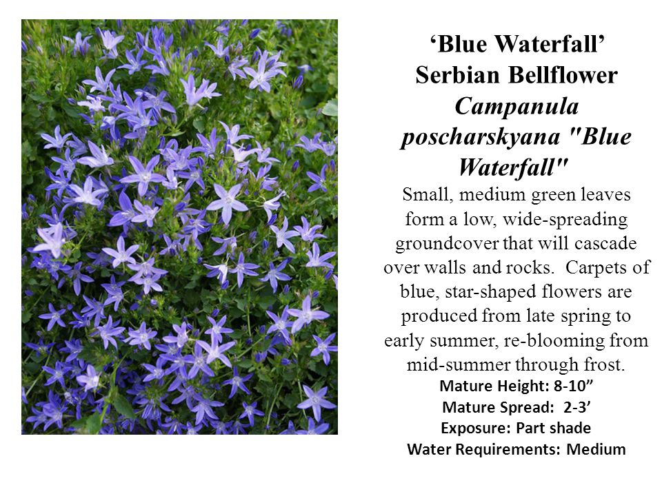 'Blue Waterfall' Serbian Bellflower Campanula poscharskyana Blue Waterfall Small, medium green leaves form a low, wide-spreading groundcover that will cascade over walls and rocks.