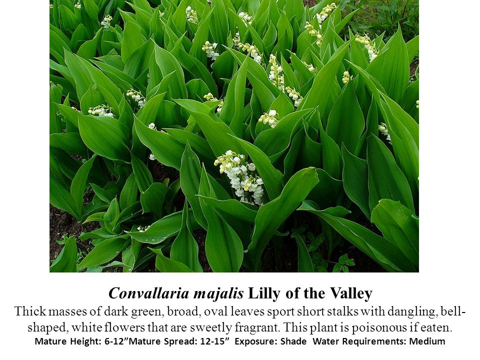 Convallaria majalis Lilly of the Valley Thick masses of dark green, broad, oval leaves sport short stalks with dangling, bell-shaped, white flowers that are sweetly fragrant.