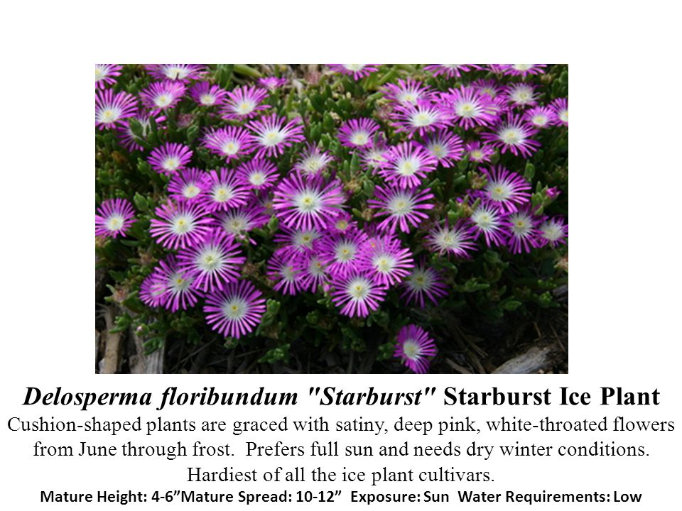Delosperma floribundum Starburst Starburst Ice Plant Cushion-shaped plants are graced with satiny, deep pink, white-throated flowers from June through frost.
