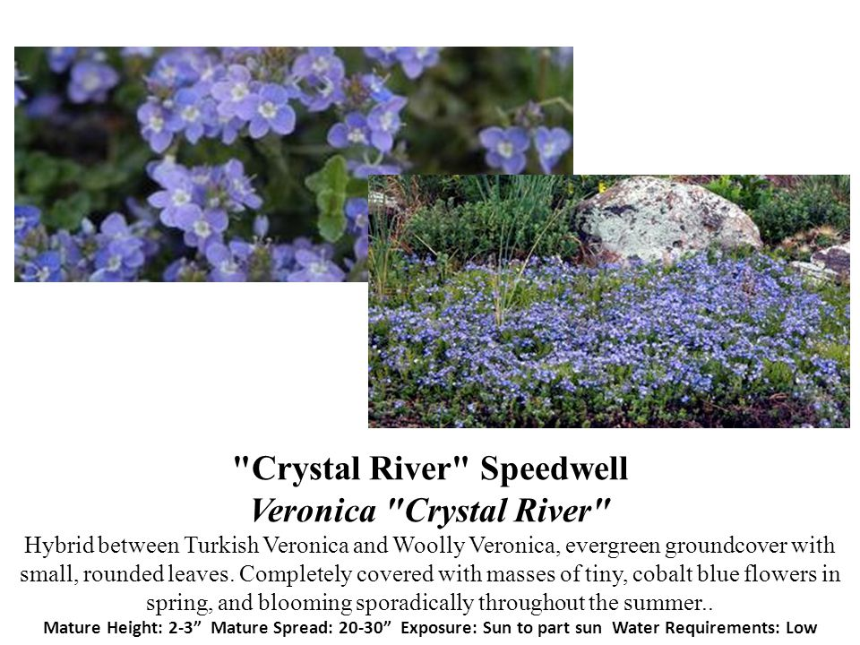 Crystal River Speedwell Veronica Crystal River Hybrid between Turkish Veronica and Woolly Veronica, evergreen groundcover with small, rounded leaves.