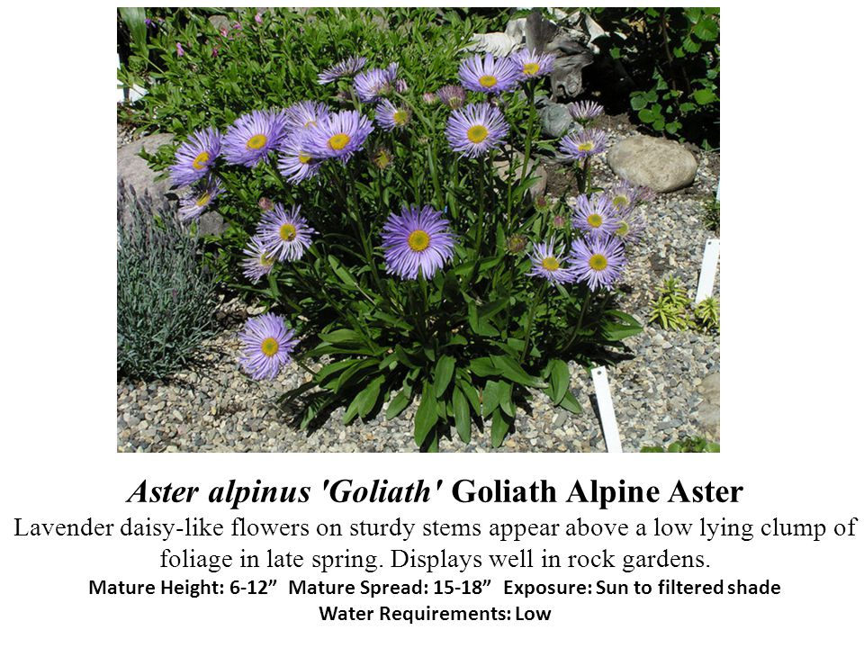Aster alpinus Goliath Goliath Alpine Aster Lavender daisy-like flowers on sturdy stems appear above a low lying clump of foliage in late spring.