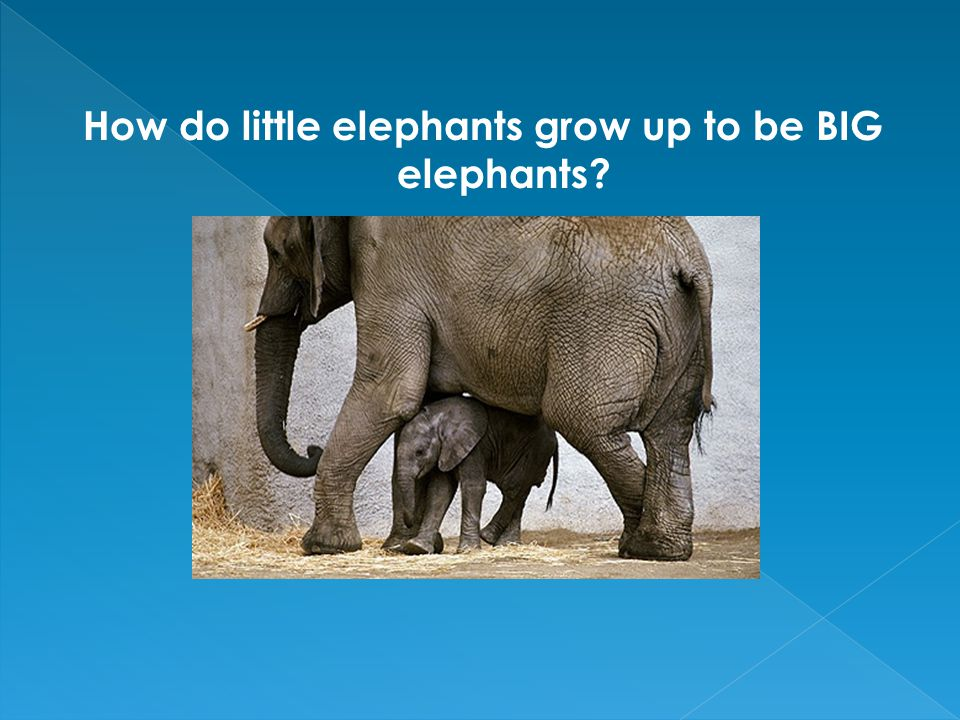 How do little elephants grow up to be BIG elephants