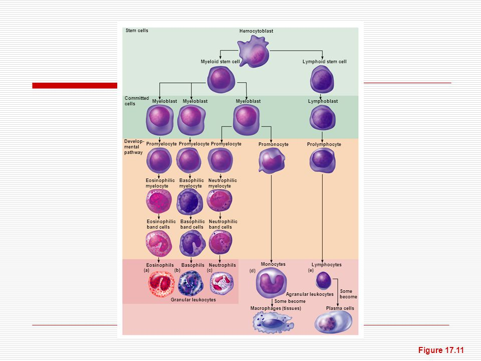 Figure 17.11 Stem cells Hemocytoblast Myeloid stem cell