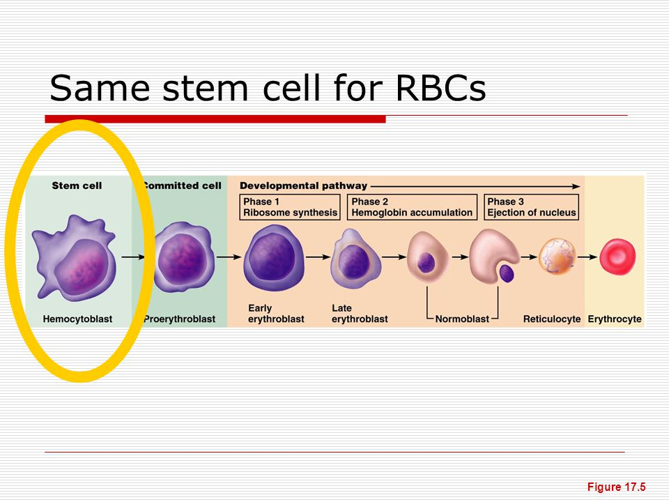 Same stem cell for RBCs Figure 17.5