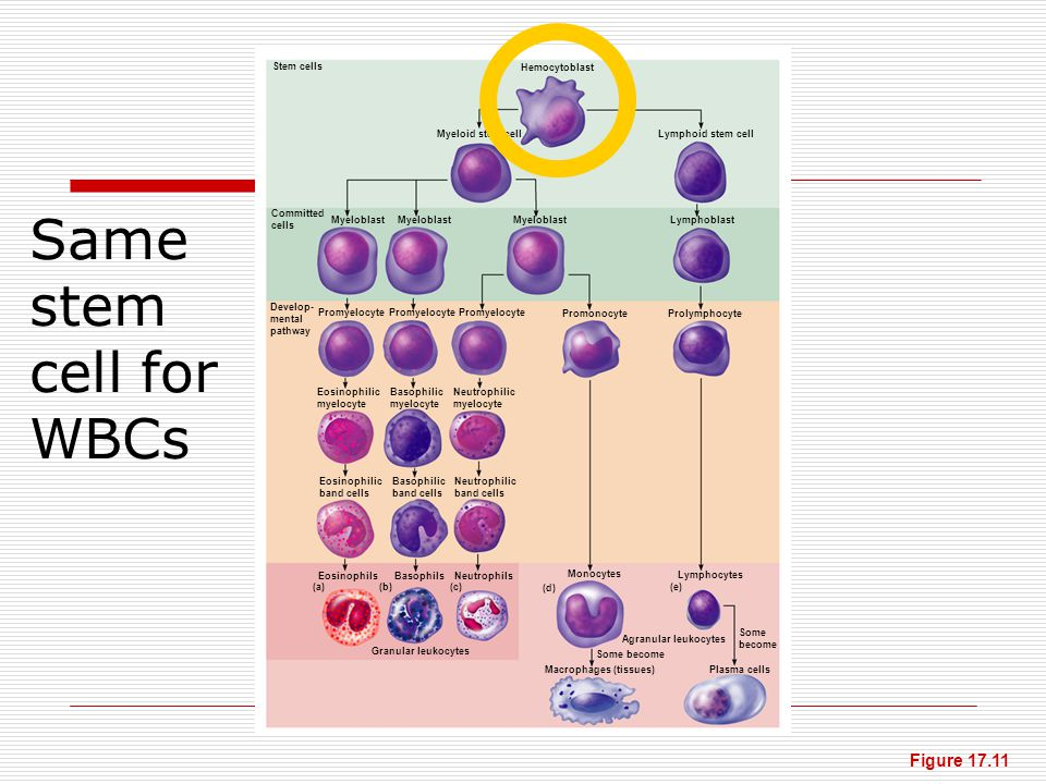 Same stem cell for WBCs Figure 17.11 Stem cells Hemocytoblast