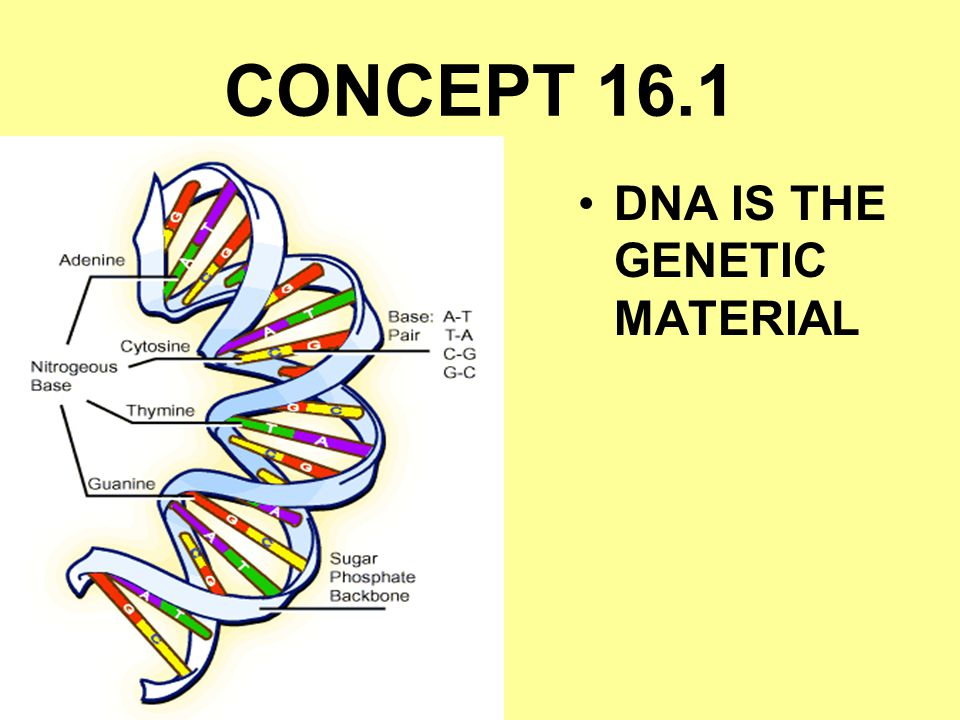 CONCEPT 16.1 DNA IS THE GENETIC MATERIAL