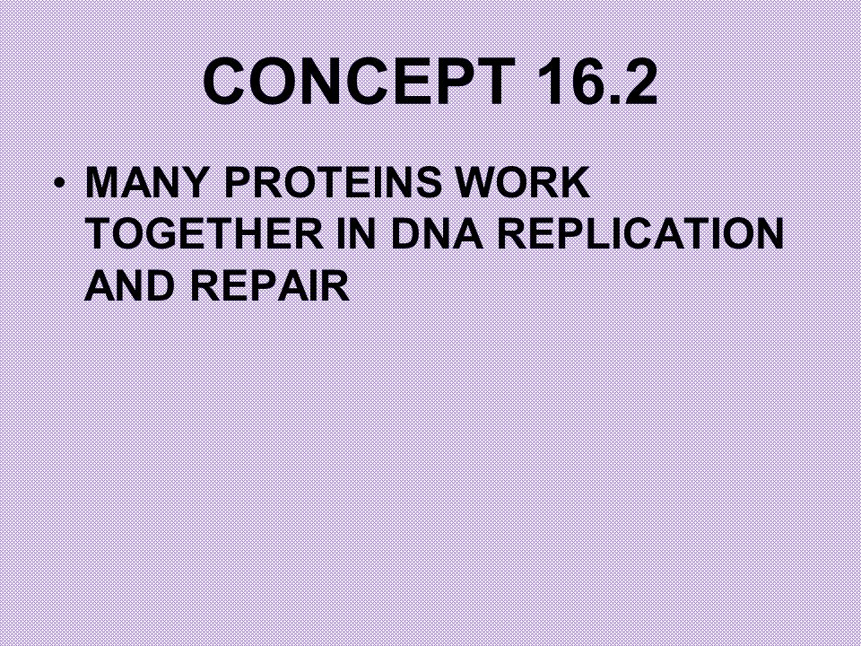 CONCEPT 16.2 MANY PROTEINS WORK TOGETHER IN DNA REPLICATION AND REPAIR