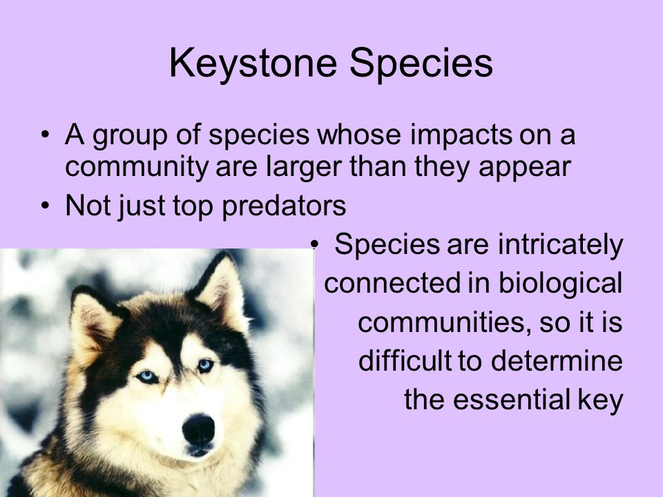 Keystone Species A group of species whose impacts on a community are larger than they appear. Not just top predators.