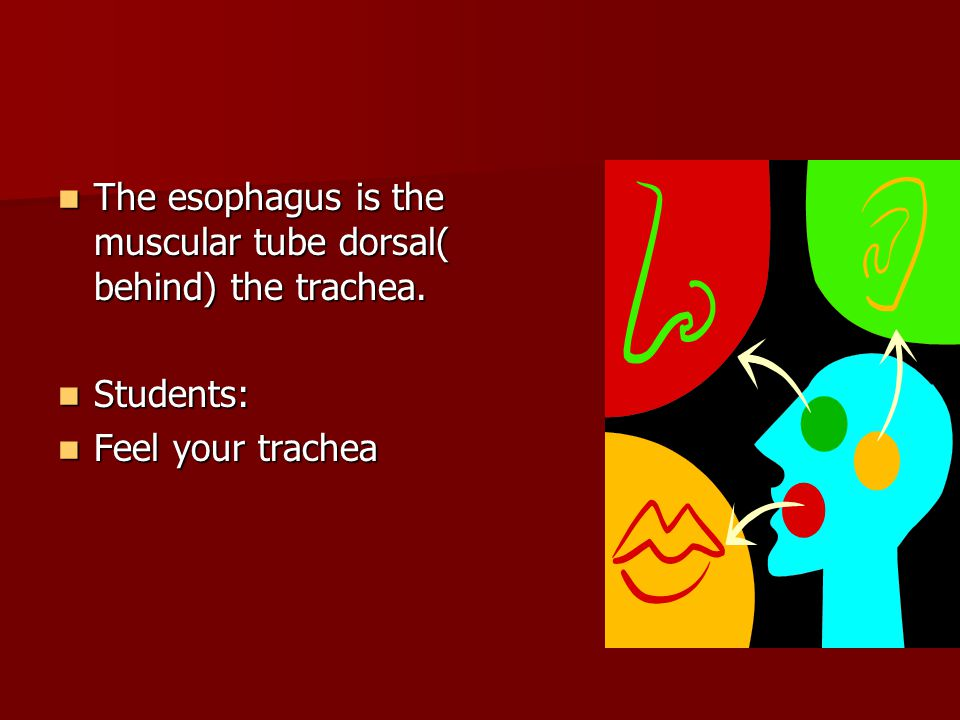 The esophagus is the muscular tube dorsal( behind) the trachea.