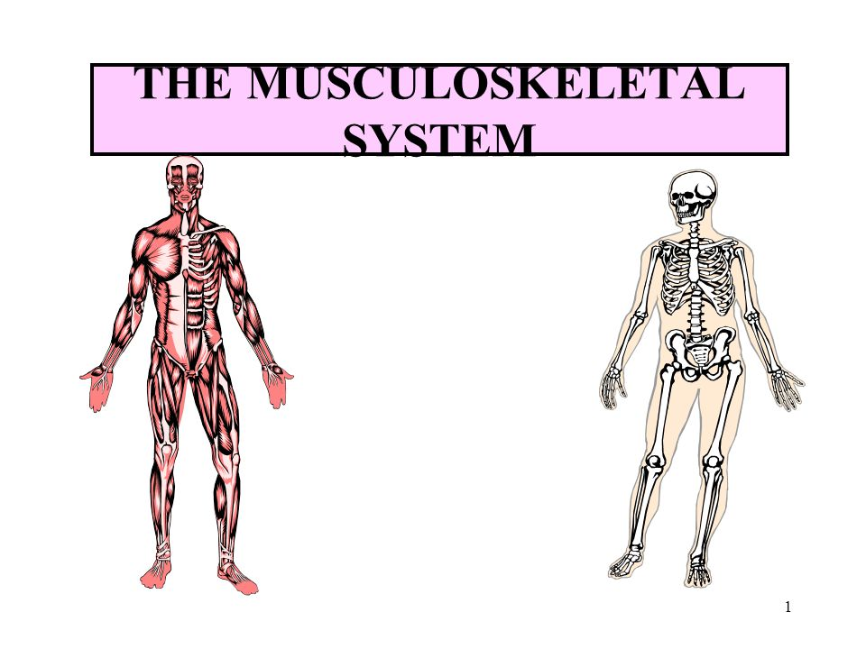 1 the musculoskeletal system