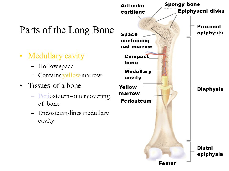 Parts of the Long Bone Medullary cavity Tissues of a bone