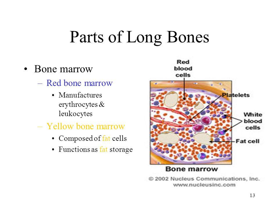 Parts of Long Bones Bone marrow Red bone marrow Yellow bone marrow