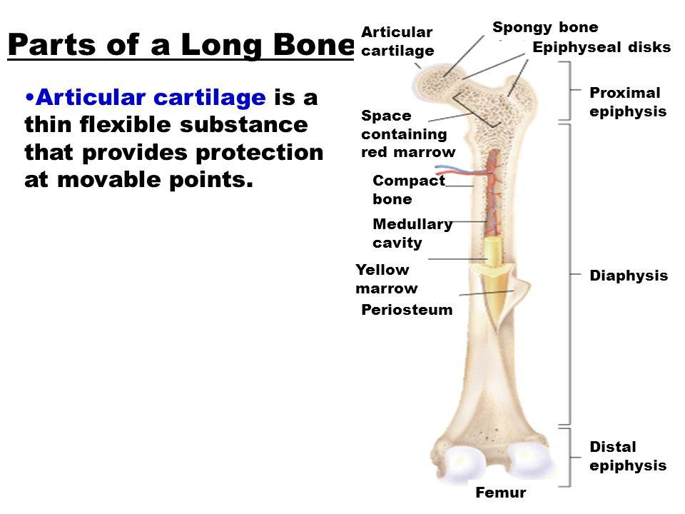 Parts of Long Bones Part 2