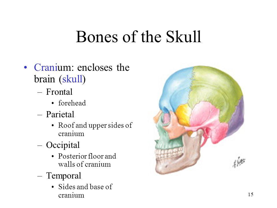 Bones of the Skull Cranium: encloses the brain (skull) Frontal