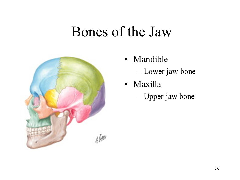 Bones of the Jaw Mandible Lower jaw bone Maxilla Upper jaw bone