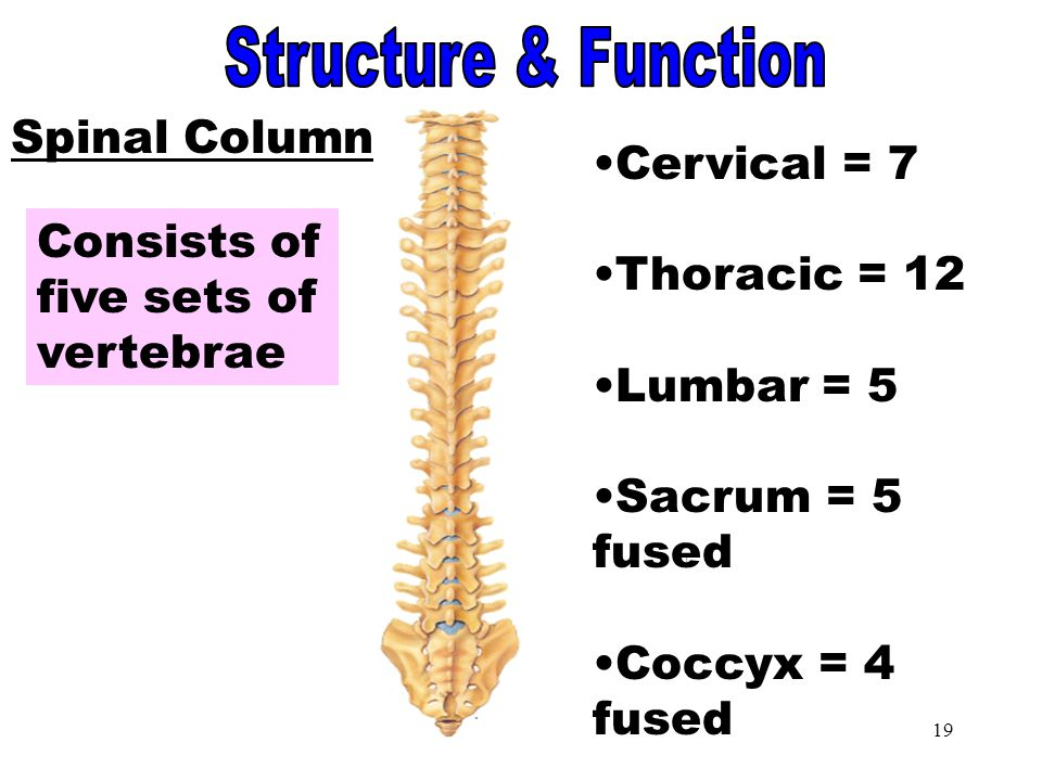 Spinal Column Structure & Function Spinal Column Cervical = 7